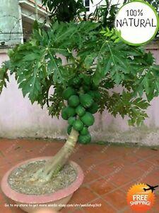Dwarf-Hovey-Papaya-Seeds-Plants-Bonsai-Organic-Fruit-Tree-Potted-For-30ps-bag