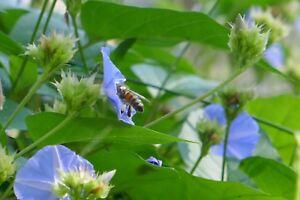 Skyblue Clustervine (Jacquemontia pentanthos) ✤ 50 Seeds