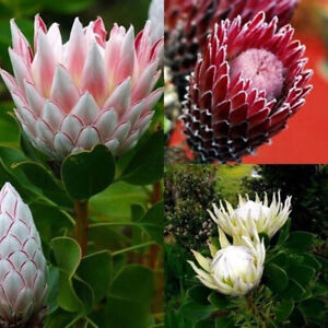 Am-FP-ALS-50Pcs-Mixed-Color-Protea-Cynaroides-Seeds-Plant-Flower-Office-Garde