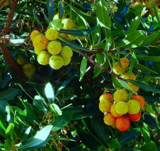 Westlicher Erdbeerbaum Arbutus unedo ca. 60 cm winterhart TOP Angebot EB6-13