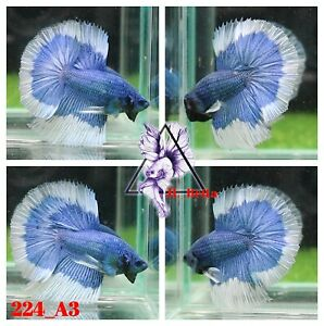 [224_A3]Live Betta Fish High Quality Male Fancy Over Halfmoon 📸Video Included📸