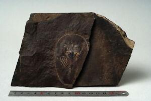 Russian-trilobite-Phitophilaspis-pergamena-IVANTSOV-1999-fossil-Russia