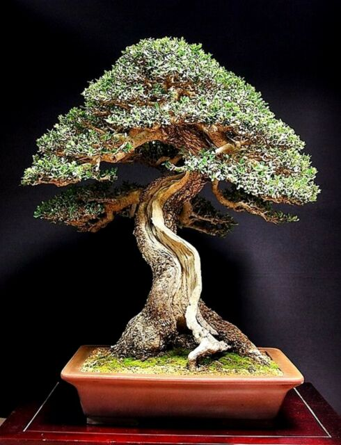 Olive tree bonsai seeds - 40 Seeds