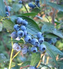Liveseeds - 20 Stk. Heidelbeere samen Bonsai Essbar Frucht- Samen, Innen, Außen