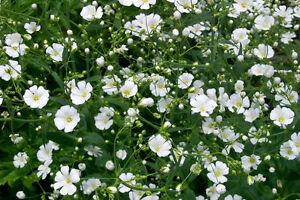 25-Semillas-Gipsofila-Flor-Blanca-GYPSOPHILA-ELEGANS-Flores-Jardin-Samen-Semi
