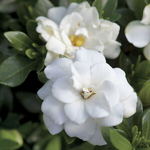 GARDENIA-Candle-Fragrance-4oz-Oil-scent-crafts-soap
