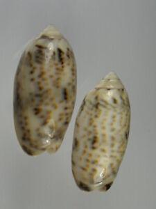 Olividae-Oliva-caerulea-lugubris-Very-nice-set