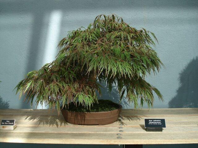 Bonsia Acer Palmatum Dissectum Japanese Maple 10 Seeds For Sale