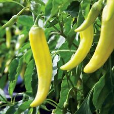 Organic yellow wax pepper BANANA CHILI -30 Hungarian Capsicum Annum Chilli Seeds