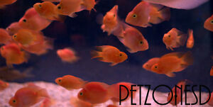 blood parrot cichlid red parrot fish high quality small ebay