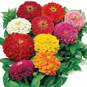 30-Seeds-of-ZINNIA-GIANT-OF-CALIFORNIA-VARIES-Beautiful-Flower-Cut