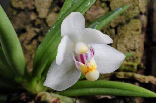 PTEROCERAS semiteretifolium Orchidée Naturform Species blühstark Baratin