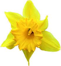 Yellow Daffodil Die Cut Decals Stickers Crafting Nursery Wall Window Decor Art