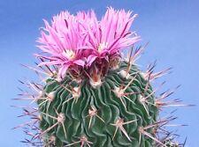 WAVE CACTUS (Echinofossulocactus violaciflorus) 10 seeds