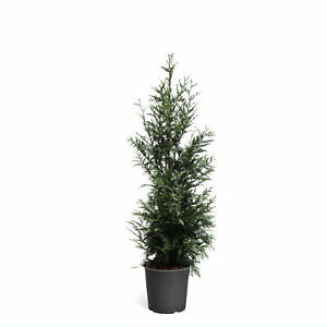 Thuja-Green-Giant-Evergreen-Trees-Bred-for-Perfect-Privacy-Cannot-Ship-to-AZ