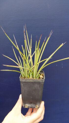 AGAVE STRICTA RUBRA vq  pianta succulenta Succulent plant vaso//pot 7x7x10 cm