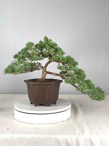 Shimpaku Juniper Kishu Semi Cascade Ebay