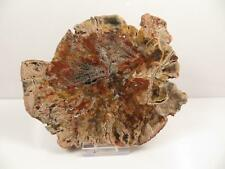 S.V.F - Large Fossil Wood Section 15.0 cm across - Madagascar - Plant Fossil