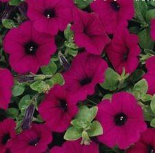 ~  Wave CLASSIC PURPLE  *  Trailing Petunia *  20 Pelleted Seeds