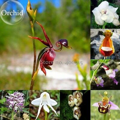 100pcs Flying Duck Orchid Plant Seeds China Rare Beautiful Orchids Seeds