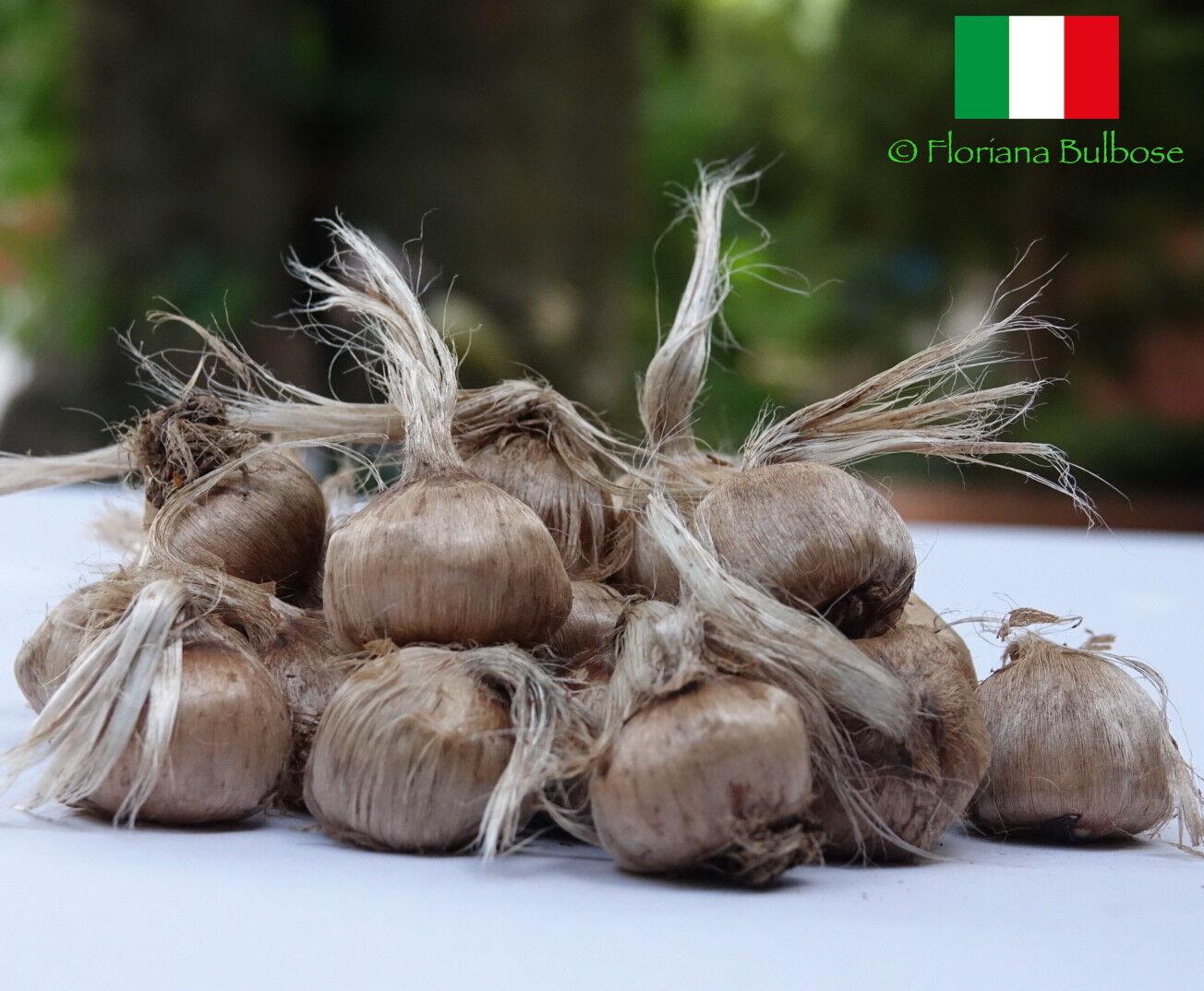 1000 bulbi di Zafferano ITALIANO (Crocus sativus) calibro 10 + PREVENDITA