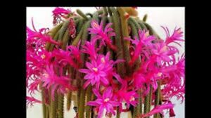4-Cuttings-3-034-Rat-Tail-Cactus-Aporocactus-Flagelliform-RARE-Succulent-Plant-Pink