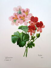 P.J. Redoute # 46 Geranium vintage print
