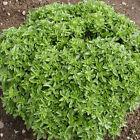 BASILICO NANO GRECO 200 SEMI a palla Ocimum basilicum pianta erba aromatica