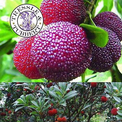 Rare Myrica Rubra Fruit Tree  3 seeds  UK Seller
