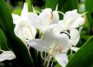 Rare 1 Canna Lily Bulbs Tropical Perennial Resistant Flower