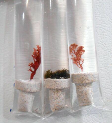 Live Ultra Rare Frag Purple Fauchea Macro Algae Plant Refugium Coral Saltwater
