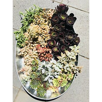 """50 succulents cuttings """" Free Postage"""" Big Size 1kg Pack"""