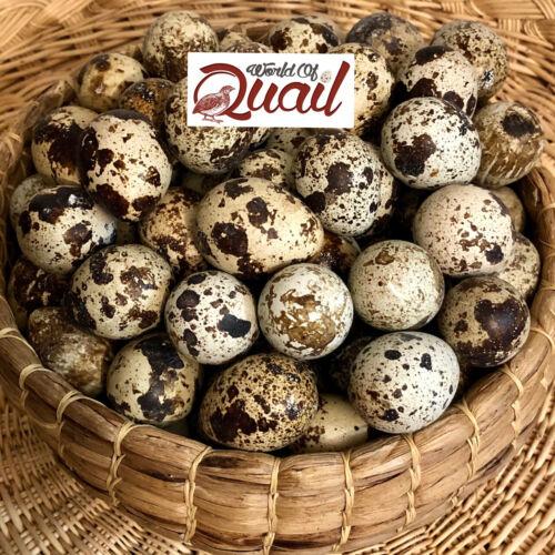 60 Coturnix Quail Fertile Hatching Eggs Different colors read desc