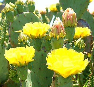OPUNTIA STRICTA 0j0 erect prickly pear nopal edible cactus nopalea seed 50 SEEDS