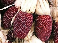 Strawberry Popcorn Seeds - Little Jewels of Ruby Red Corn - Vegetable - 50 Seeds