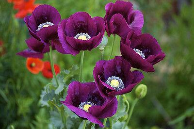 * PURPLE POPPY * Flower Seeds * Great Display! *