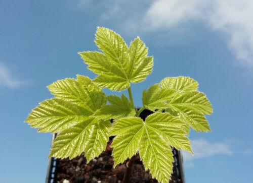 rare HIMALAYAN MAPLE Acer sterculianum  AUTUMN COLOURS ideal for small gardens