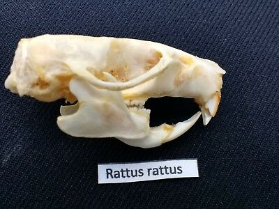 SQUIRREL Skull 3.5 cm professionally cleaned /& sent quickly from the UK SKULL