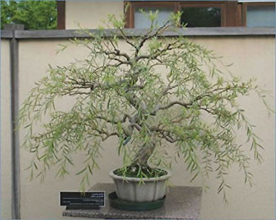 Bonsai Dragon Willow Corscrew Tree Live Indoor Plant Large Thick Trunk Best Gift 689310839304 Ebay