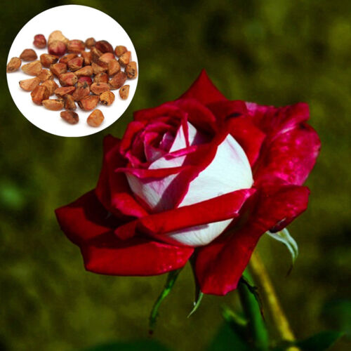 20pc Rare Seed Osiria Rose Ruby Rose-BluMenamen Gartenpflanze Rot mit weißem w