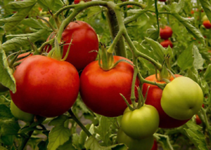 Tomato-Floralou-A-Flavorful-Large-High-Yielding-Meaty-Tomato-Variety-15-Seeds