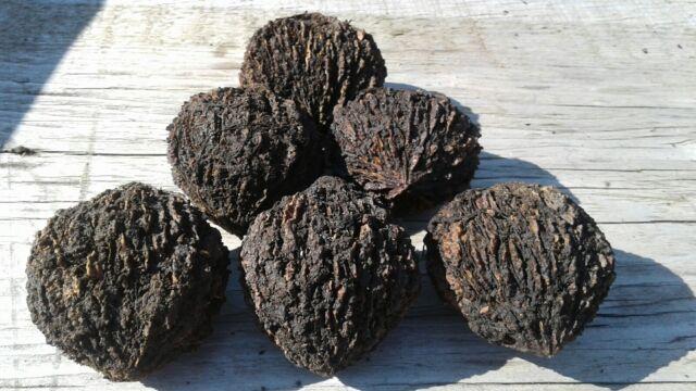 (6) Black Walnut Tree Seeds , Seeds of PENNSYLVANIA, Walnut Tree 2017 CROP