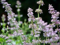 200 BROADLEAF SAGE Salvia Flower Herb Seeds *Comb S/H