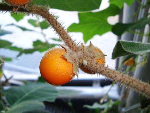 RARE 6 graines de LULO DE PERRO Solanum Pseudolulo H285 SEEDS SAMEN SEMILLAS