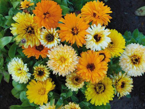 FLOWER CALENDULA FIESTA GITANA MIX  600 SEEDS