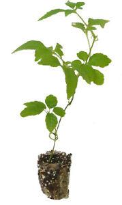 7-Jiaogulan-Pflanzen-Kraut-der-Unsterblichkeit