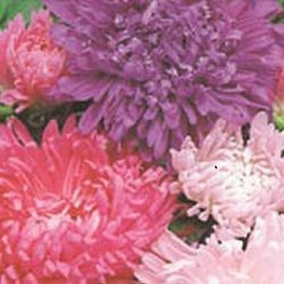 Aster Carousel Mixed Kings Seeds 200 Seeds