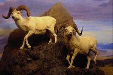 519090 Canadian Museum Of Nature Dalls Sheep A4 Photo Print