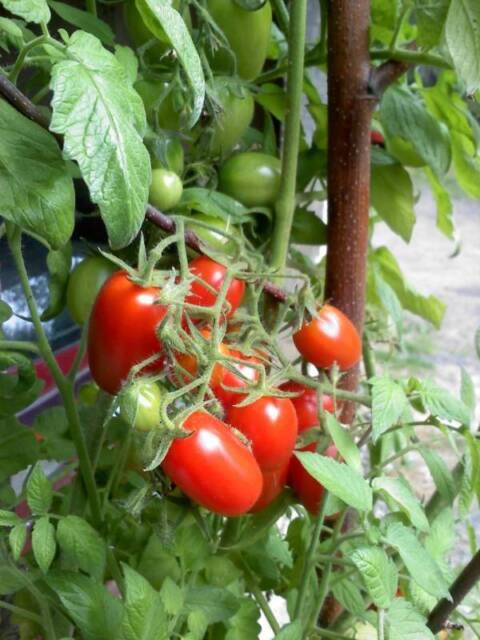 Tomato Seeds 50 Juliet Grape Hybrid 60 Days