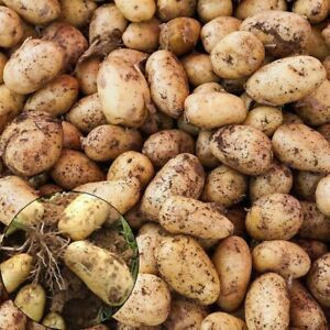 100St-Gold-Kartoffel-Samen-Garten-Koestliche-Frische-Obst-Gemuese-Pflanzen-Saatgut